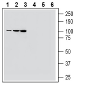 Western blot analysis of mouse colon lysate (lanes 1 and 4), rat brain lysate (lanes 2 and 5) and mouse brain lysate (lanes 3 and 6):
