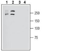 Western blot analysis of human HL-60 acute promyelocytic leukemia cell line lysates (lanes 1 and 3) and human Malme-3M melanoma cell line lysate (lanes 2 and 4):