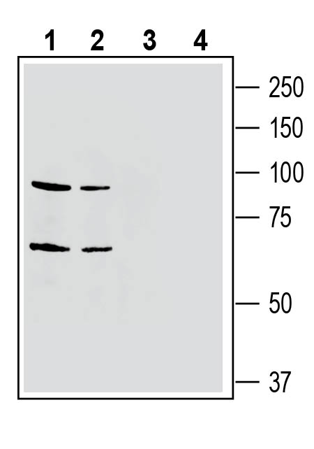 Western blot analysis of mouse brain membranes (lanes 1 and 3) and rat brain membranes (lanes 2 and 4):