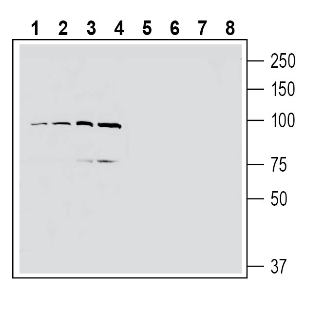 Western blot analysis of human MCF-7 breast adenocarcinoma cell line lysate (lanes 1 and 5), human U-87 MG glioblastoma cell line lysate (lanes 2 and 6), human Jurkat T-cell leukemia cell line lysate (lanes 3 and 7) and human THP-1 monocytic leukemia cell line lysate (lanes 4 and 8):