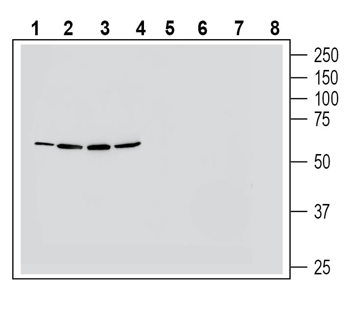 Western blot analysis of human HT-29 colon adenocarcinoma cell line lysate (lanes 1 and 5), human Jurkat T-cell leukemia cell line lysate (lanes 2 and 6), human K562 myelogenous leukemia cell line lysate (lanes 3 and 7) and human NK-92 natural killer cell line lysate (lanes 4 and 8):