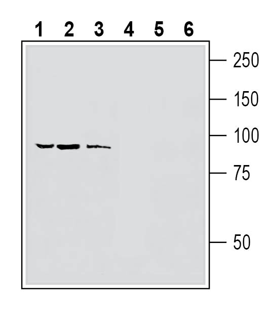 Western blot analysis of human MCF-7 breast adenocarcinoma cell line lysate (lanes 1 and 4), human LNCaP prostate adenocarcinoma cell line lysate (lanes 2 and 5) and human HMC3 microglia cell line lysate (lanes 3 and 6):
