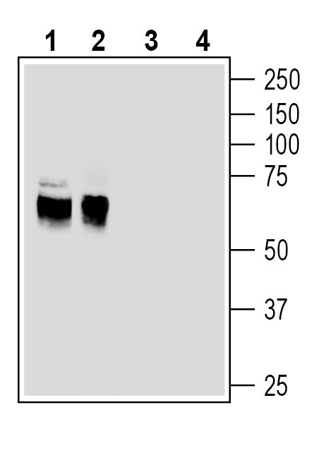 Western blot analysis of rat brain membranes (lanes 1 and 3) and mouse brain lysates (lanes 2 and 4):