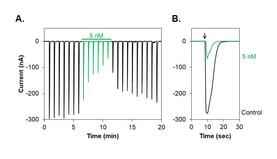 Alomone Labs L-701,324 inhibits NMDA (NR1+NR2A) receptors expressed in Xenopus oocytes.