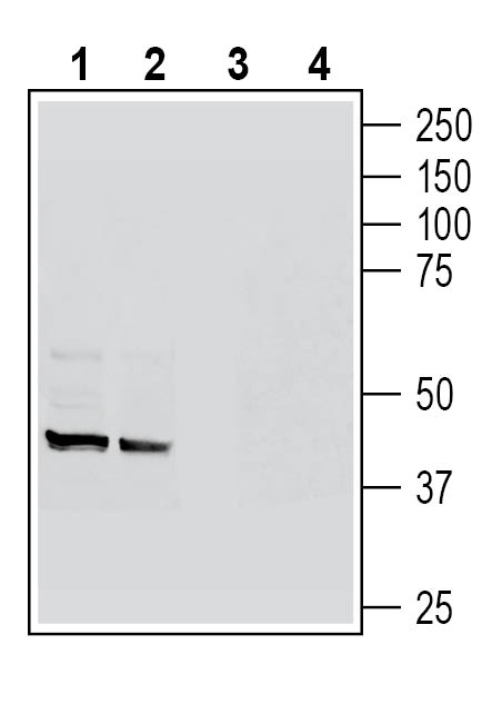 Western blot analysis of rat spleen lysates (lanes 1 and 3) and rat colon membranes (lanes 2 and 4):