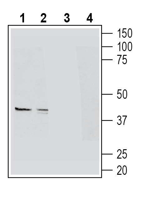 Western blot analysis of mouse colon lysates (lanes 1 and 3) and mouse lung lysates (lanes 2 and 4):