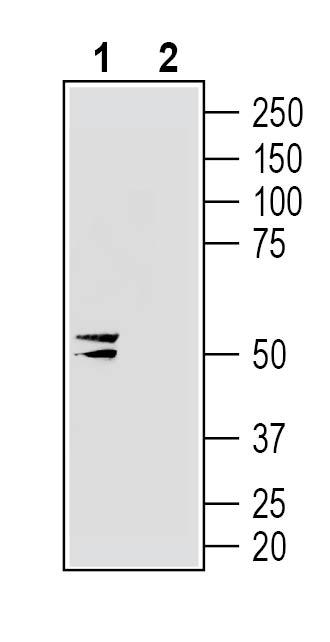 Western blot analysis of human U-87 MG glioblastoma cell line lysate: