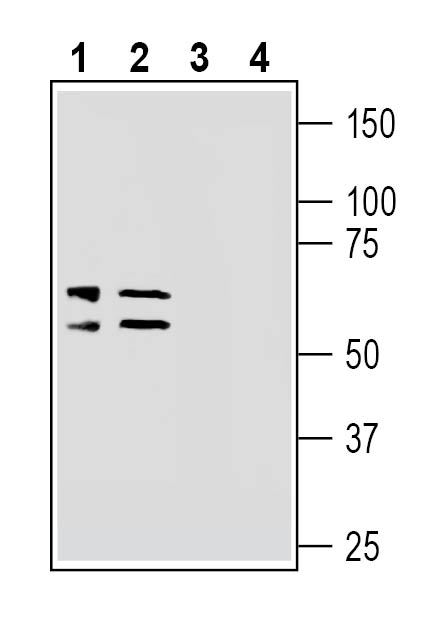 Western blot analysis of mouse brain lysates (lanes 1 and 3) and rat brain synaptosomal fraction (lanes 2 and 4):