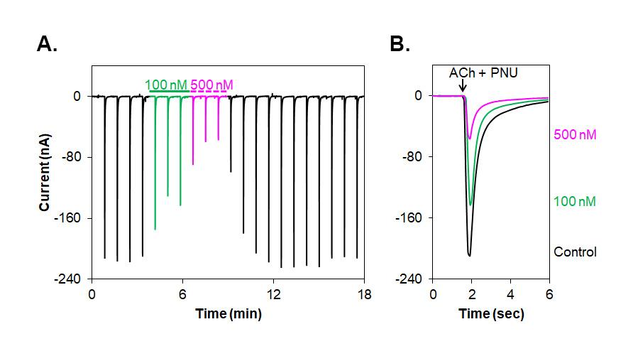 Alomone Labs α-Conotoxin GeXIVA inhibits α7 nAChR heterologously expressed in Xenopus oocytes.