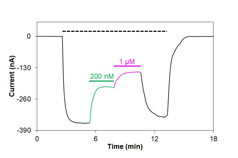 Alomone LabsTertiapin-RQ blocks Kir1.1 channels expressed inXenopusoocytes.