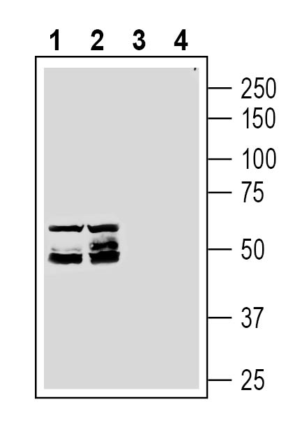 Western blot analysis of rat (lanes 1 and 3) and mouse (lanes 2 and 4) testis membranes: