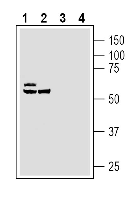 Western blot analysis of human LNCaP prostate carcinoma cell line lysates (lanes 1 and 3) and human THP-1 monocytic leukemia cell line lysates (lanes 2 and 4):