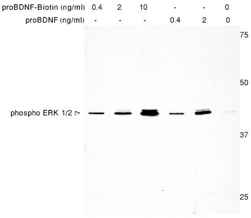 Alomone Labs human proBDNF-Biotin protein mediates ERK1/2 activation in TrkB transfected HEK293 cells.