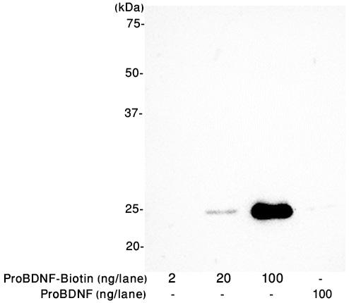 Alomone Labs proBDNF-Biotin specifically binds avidin.