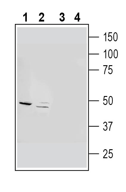 Western blot analysis of rat brain synaptosome lysates (lanes 1 and 3) and mouse brain lysates (lanes 2 and 4):