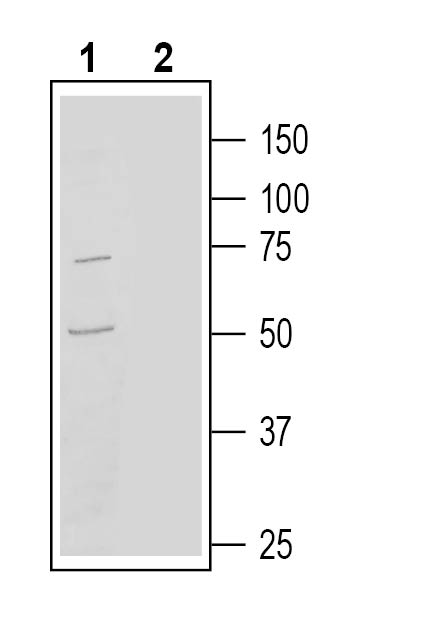 Western blot analysis of human THP-1 monocytic leukemia cell line lysate: