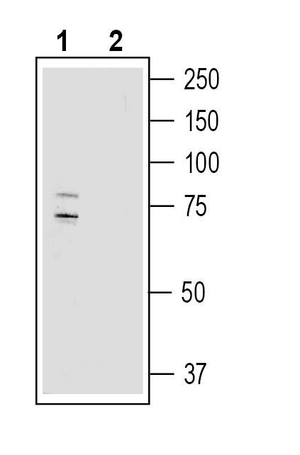 Western blot analysis of human U-87 MG glioma cell line lysate: