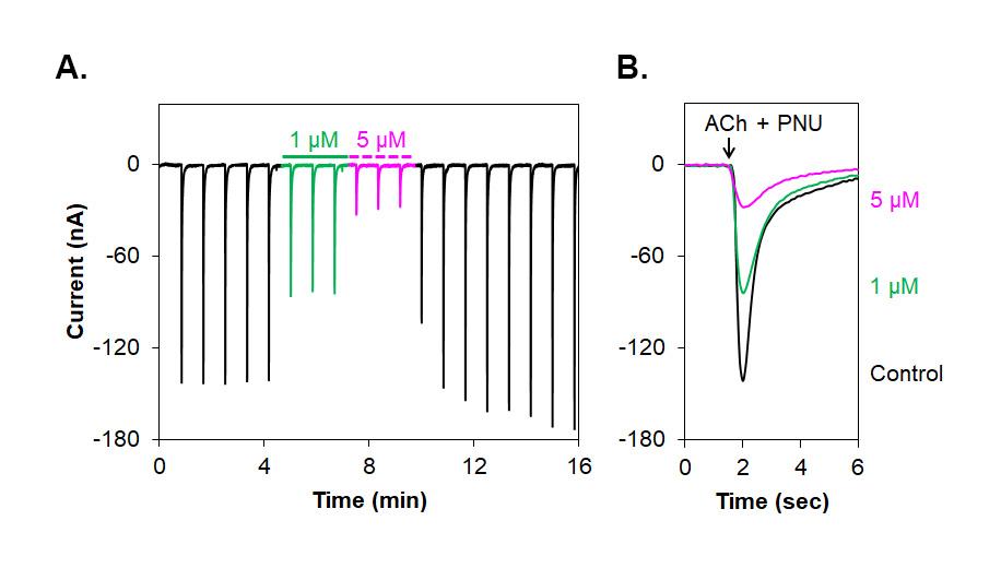 Alomone Labs α-Conotoxin RgIA inhibits α7 nAChR heterologously expressed inXenopusoocytes.