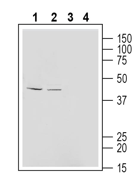 Western blot analysis of mouse J774 macrophage cell line lysate (lanes 1 and 3) and rat aortic endothelial cells lysate (lanes 2 and 4):