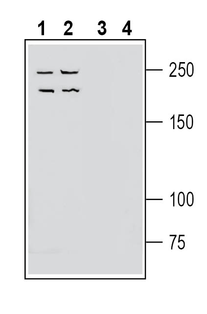 Western blot analysis of human Jurkat T-cell leukemia cell line lysate (lanes 1 and 3) and human LNCaP prostate adenocarcinoma cell line lysate (lanes 2 and 4):