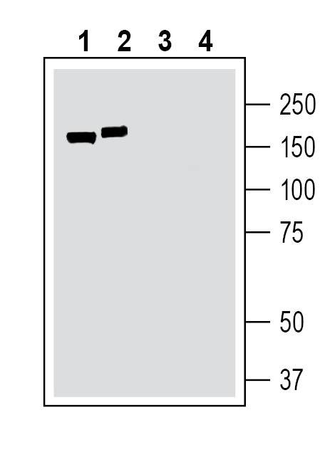 Western blot analysis ofrat brain lysate(lanes 1 and3)andmousebrain lysate(lanes2and4):